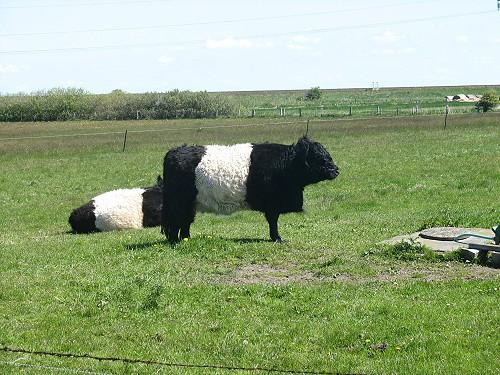 Angemalte Kühe auf Sylt