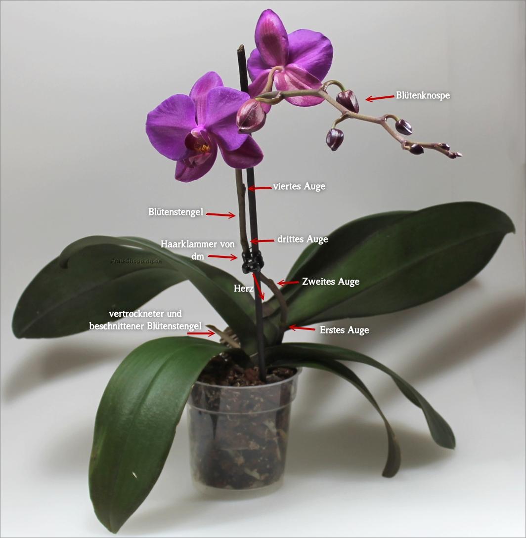 Was Ist Was An Einer Phalaenopsis Orchidee