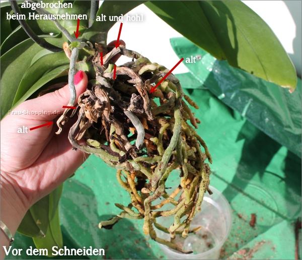Orchideen Wurzeln Beschneiden   Vorher